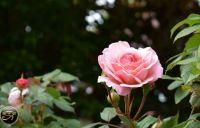 Rose in our garden
