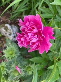 Peonie and Thistles