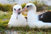Laysan Albatrosses mate for life