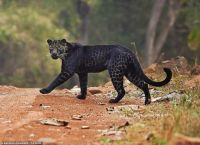 Rare black leopard 'spotted' in India
