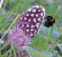bumblebee on butterbur flower