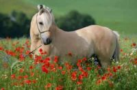 Norwegian Fjord pony and poppies