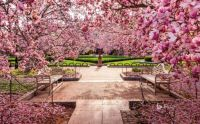 Cherry blossoms at the National Mall, Washington, DC