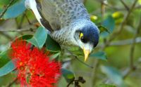 Noisy Miner in Red Gum