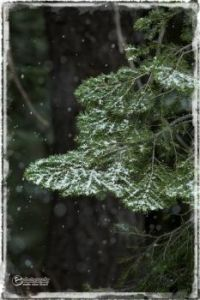 A dusting on snow on Douglas Fir branch