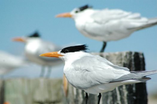 Royal Terns at North Padre, TX