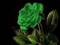 Green hybrid tea rose