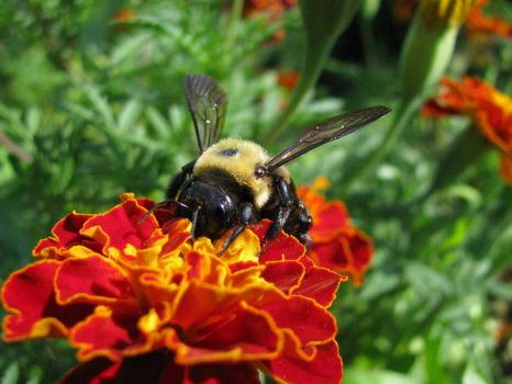In praise of Native pollinators