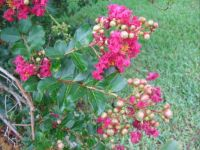 crepe myrtle buds and blooms