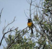 Nectarinia violacea - Orange breasted Sunbird