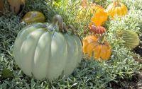 pumpkin-garden