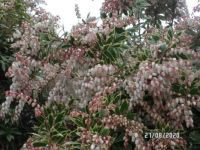 Pieris in bloom