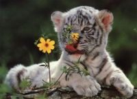 Whiter Tiger Cub :D