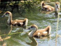 Egyptian goslings (nijlganskuikens)