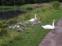 Mum and Dad still with 9 cygnets.Growing fast 29.07.2013