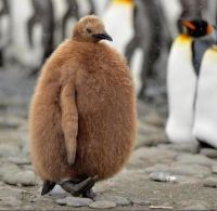 This baby penguin which looks like an angry kiwi fruit