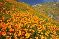 California Poppy. USA..
