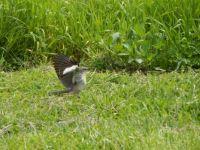 Northern Mockingbird Antics