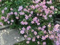 Pink Autumn Anemones