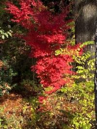 My Oregon vine maple