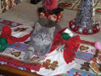 My Christmas Kittens - Gracie