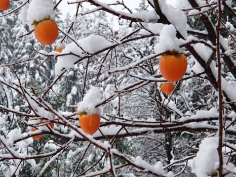 Persimmons on Marble Mountain ~ Northern California