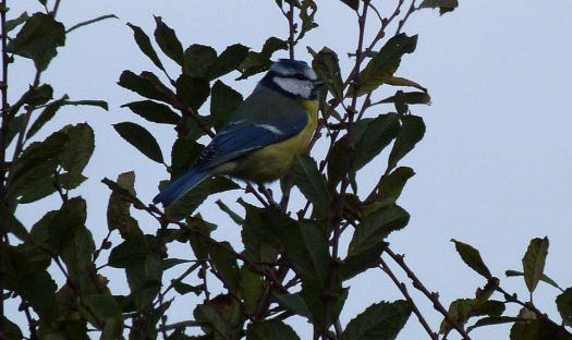 Pimpelmees~Blue Tit