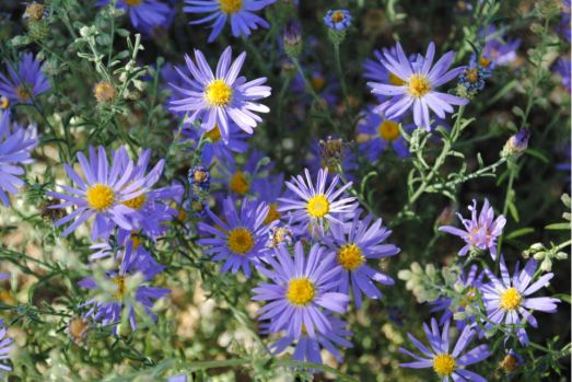 Asters? Grand Canyon, Navaho Point