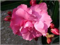 Pink  -  Růžová