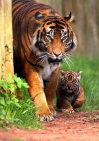 The baby already shows the tigers magnificint stare