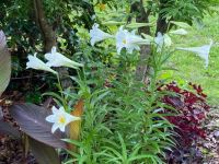 My Easter lilies, a bit late