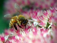 Bee On Autumn Joy