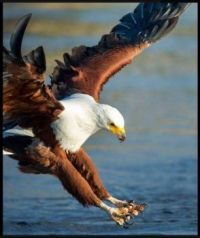 Eagle fishing ...