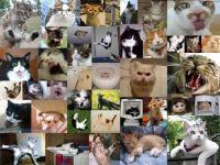 Crazy Cat Collage