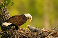 'Bald Eagle Mom tending her young'..