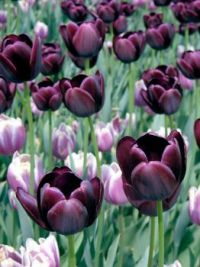 Lovely Tulips!