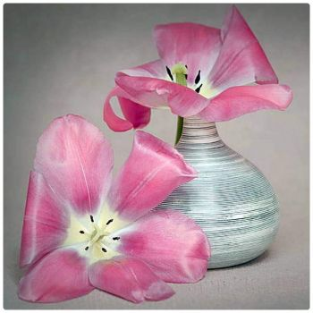 Fully Open Pink Tulips