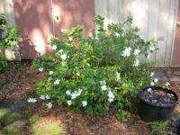 gardenia (3rd year)