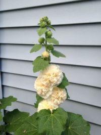 Hollyhock in bloom