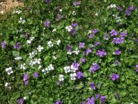 Violets in my lawn