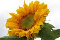 Emily's sunflowers