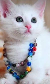 White Kitten with Multi-colored Beaded Necklace