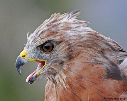 Red-shouldered Hawk released into wild after rehab by OC Bird of Prey Center