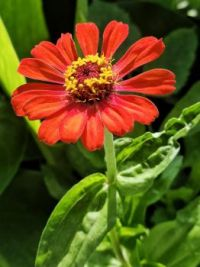 Single Red Blossom