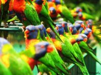 flock of lorikeets
