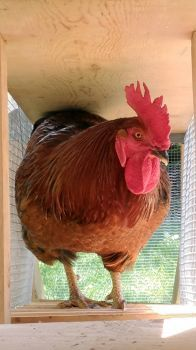 Charley--My Daughter's Rhode Island Red Rooster