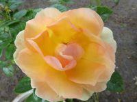 min rose