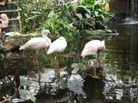 "Flamingos (at the indoor Zoo/pet store ""Avonturia"" The Hague)"