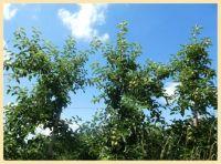 Groeiende appels aan de bomen.