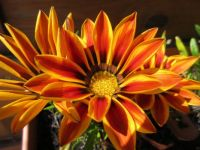 Gazania  (enjoying the sunshine